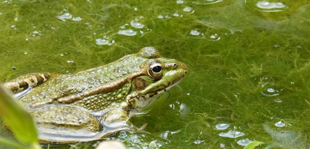 Groda bland alger