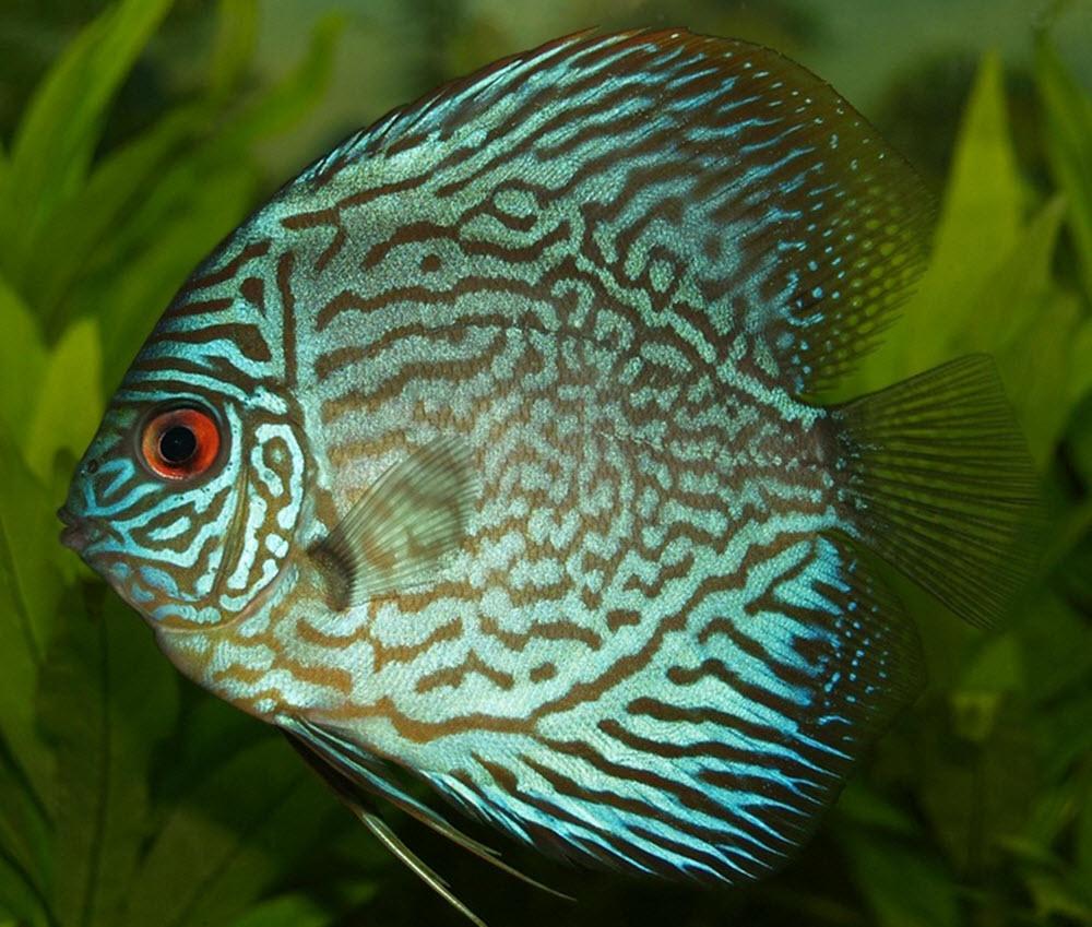 diskus fisk